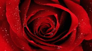Valentines Day Roses Images